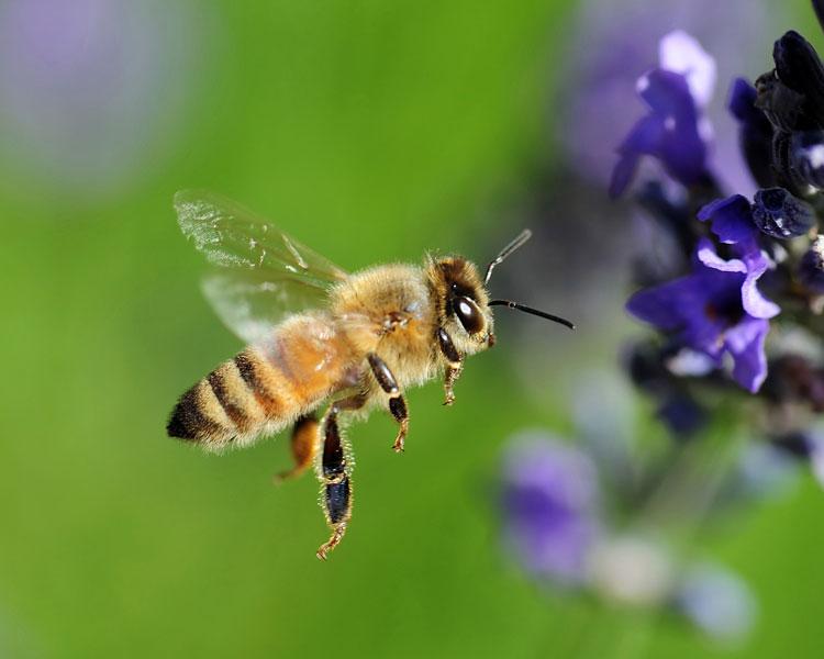 стрекозы ловят пчел